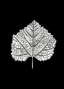 Folha de Vitis sezannensis