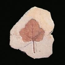 Folha de Vitis ampelophyllum
