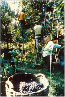 viticultura-tipo-arbustrum