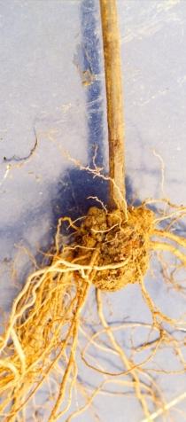 Agrobacterium tumofaciens Vitis