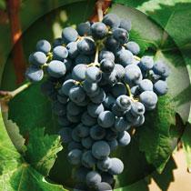 graciano_tintamiuda-uvas