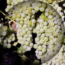 airen-uvas