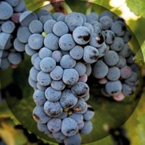 hondarrabibeltza-uvas