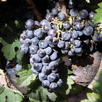 rufete-uvas