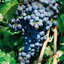 trincadeira-uvas