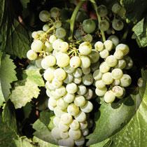 verdejo-uvas
