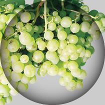 ALICANTE-BRANCO-uvas